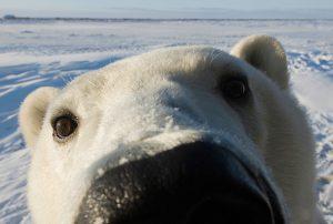 bear-polarbears-intl
